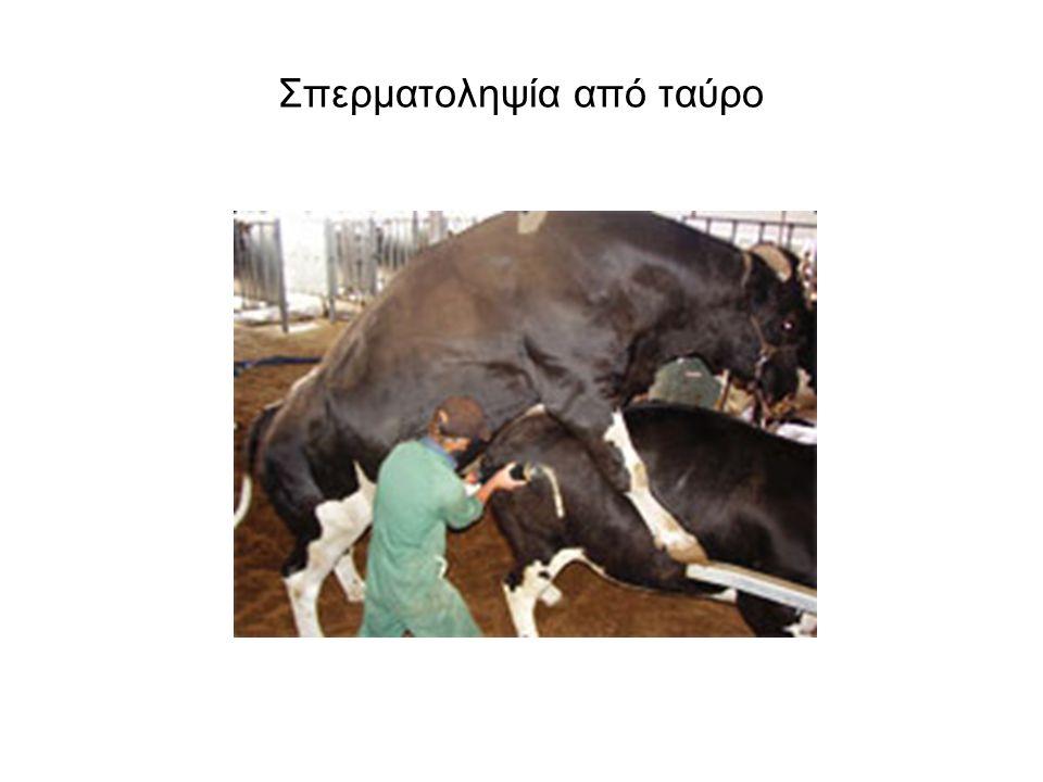 Σπερματοληψία από ταύρο