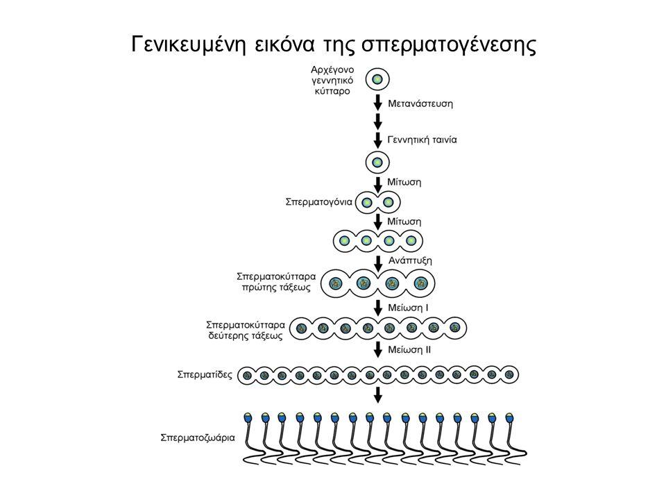 Γενικευμένη εικόνα της σπερματογένεσης