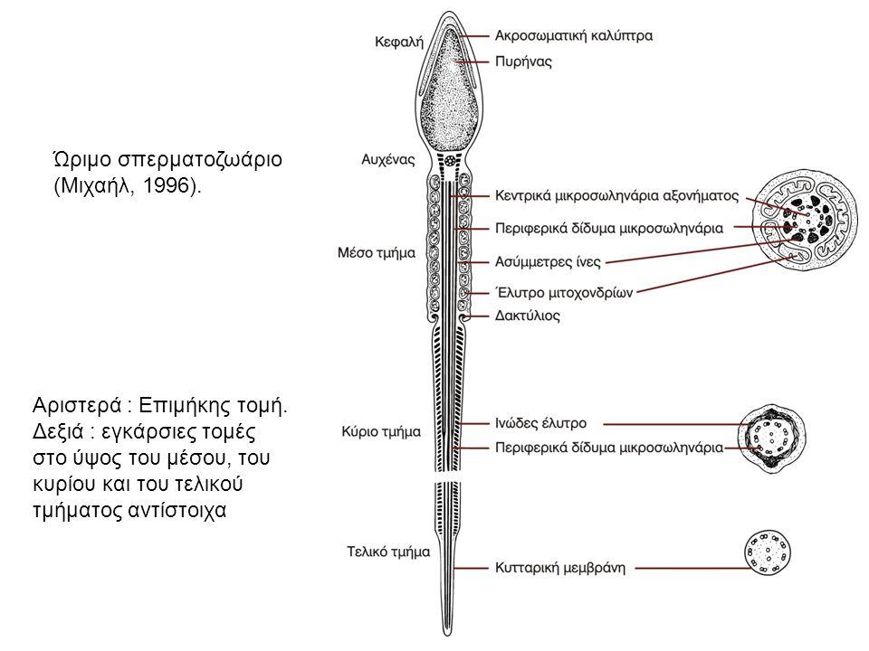 Ώριμο σπερματοζωάριο (Μιχαήλ, 1996).