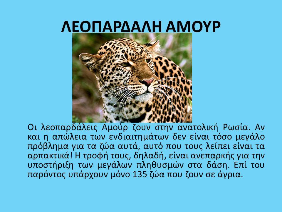 ΛΕΟΠΑΡΔΑΛΗ ΑΜΟΥΡ