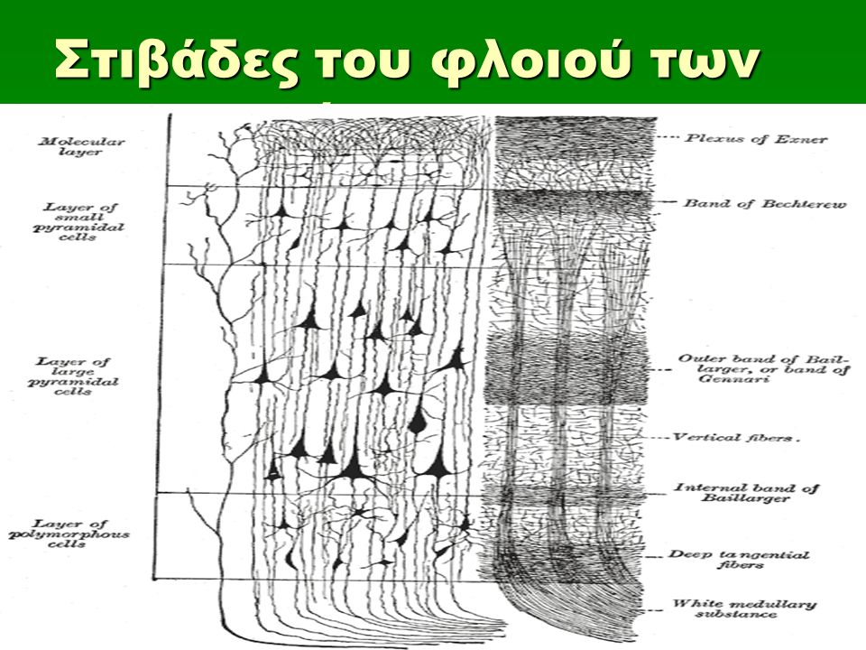 Στιβάδες του φλοιού των ημισφαιρίων
