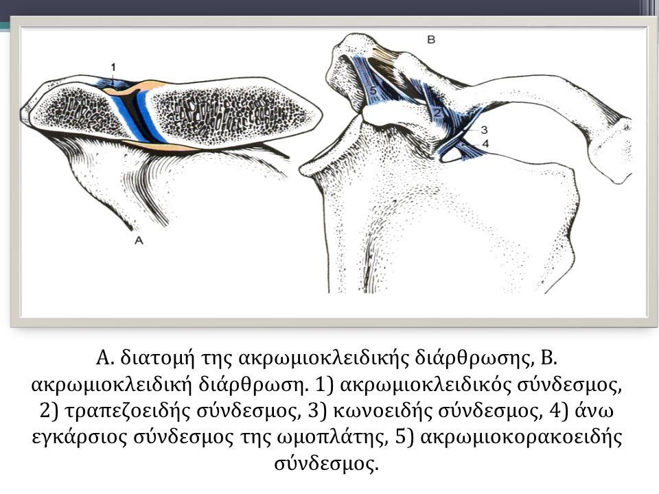 Α. διατομή της ακρωμιοκλειδικής διάρθρωσης, Β