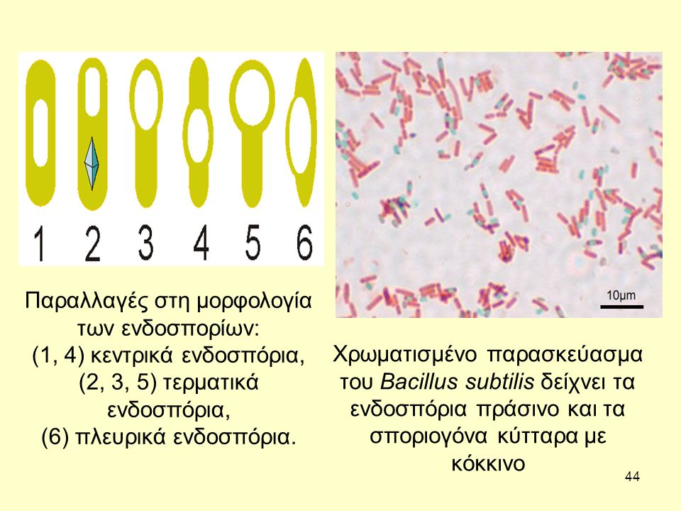 Παραλλαγές στη μορφολογία των ενδοσπορίων:
