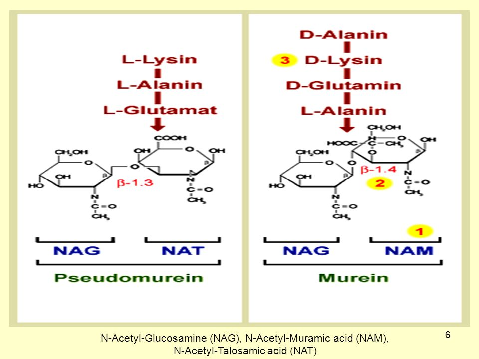 N-Acetyl-Glucosamine (NAG), N-Acetyl-Muramic acid (NAM),
