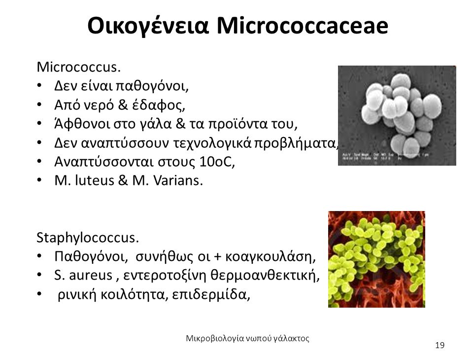 Οικογένεια Micrococcaceae