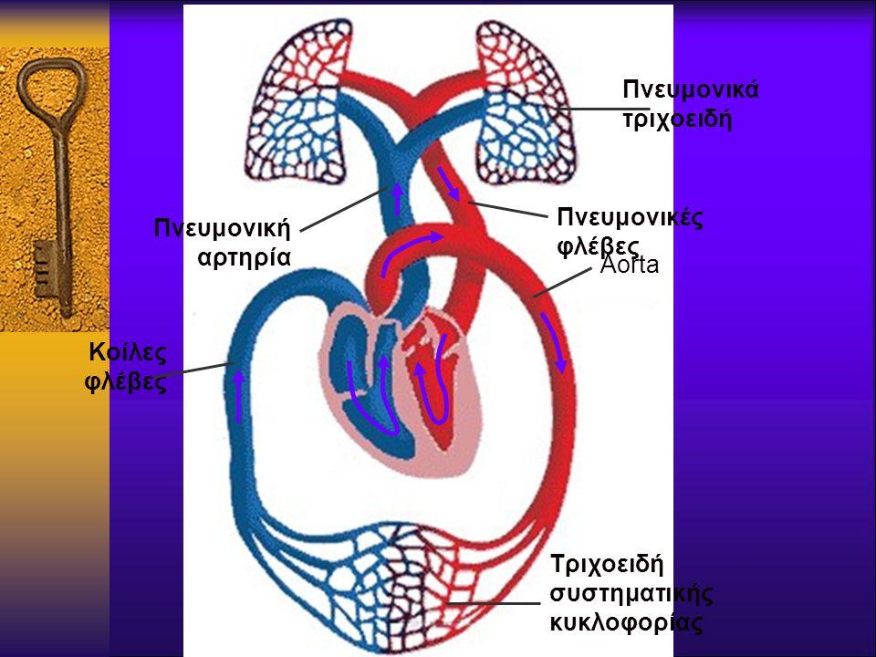 Πνευμονικά τριχοειδή Aorta. Πνευμονικές φλέβες. Τριχοειδή συστηματικής κυκλοφορίας. Κοίλες φλέβες.