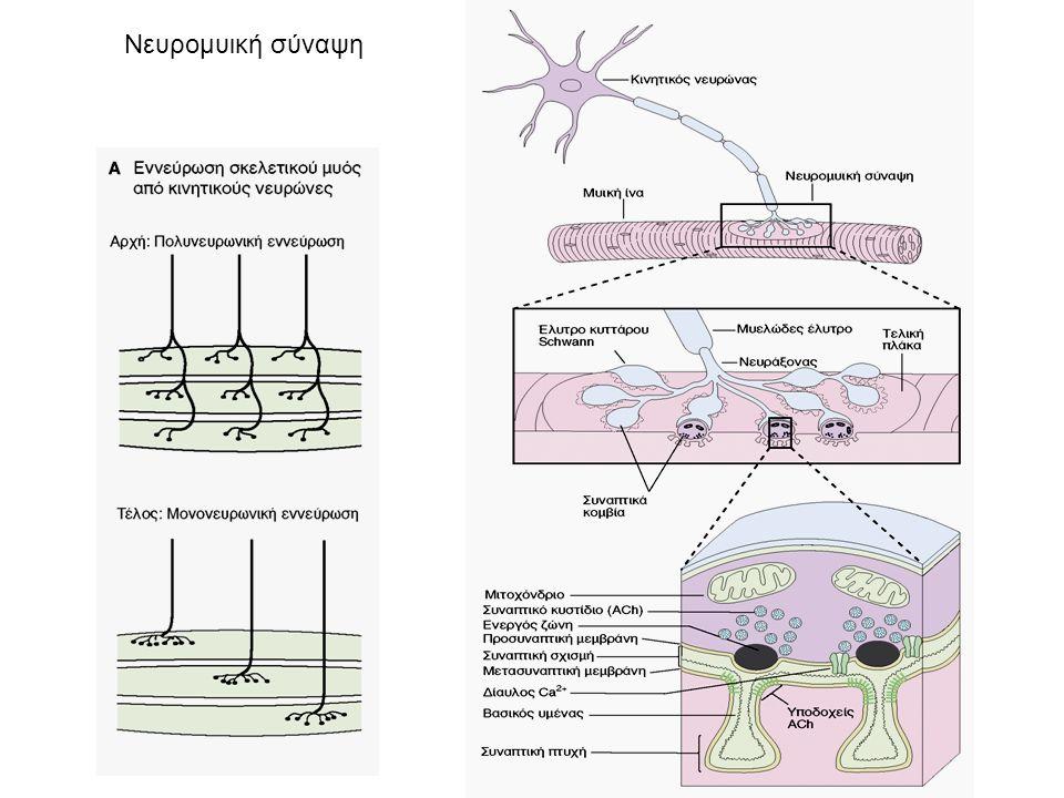 Νευρομυική σύναψη