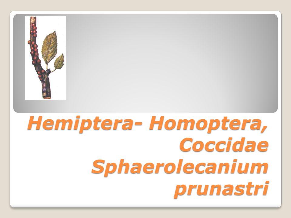Hemiptera- Homoptera, Coccidae Sphaerolecanium prunastri