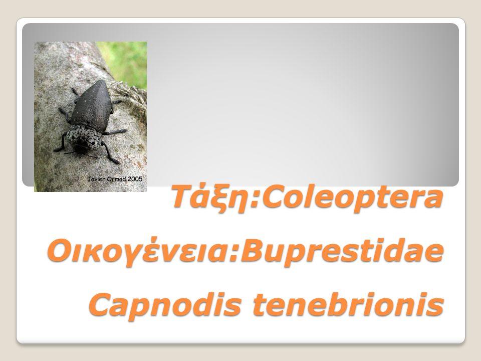 Τάξη:Coleoptera Οικογένεια:Buprestidae Capnodis tenebrionis