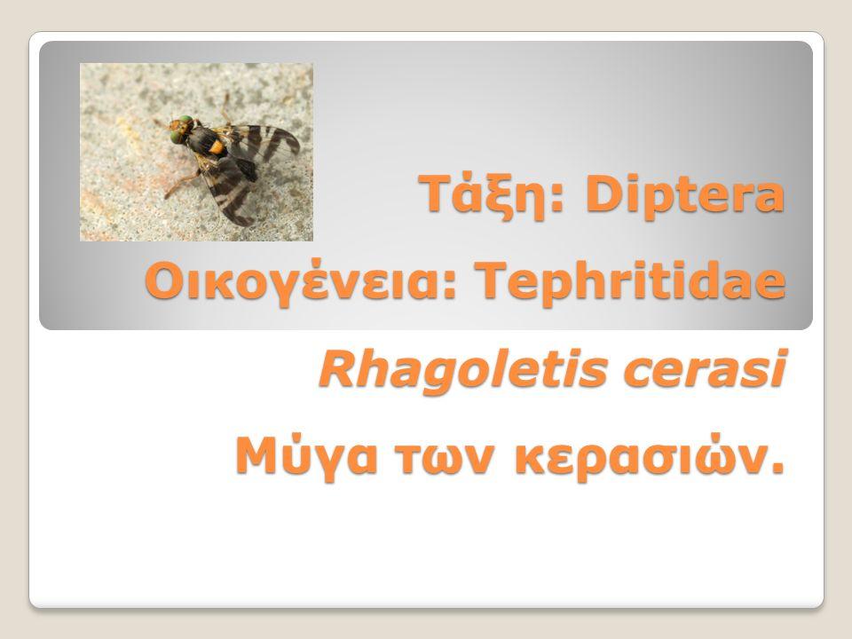 Τάξη: Diptera Οικογένεια: Tephritidae Rhagoletis cerasi Mύγα των κερασιών.