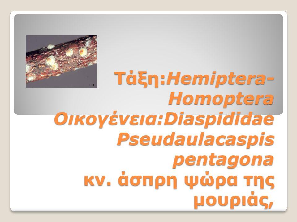 Τάξη:Hemiptera- Homoptera Οικογένεια:Diaspididae Pseudaulacaspis pentagona κν.