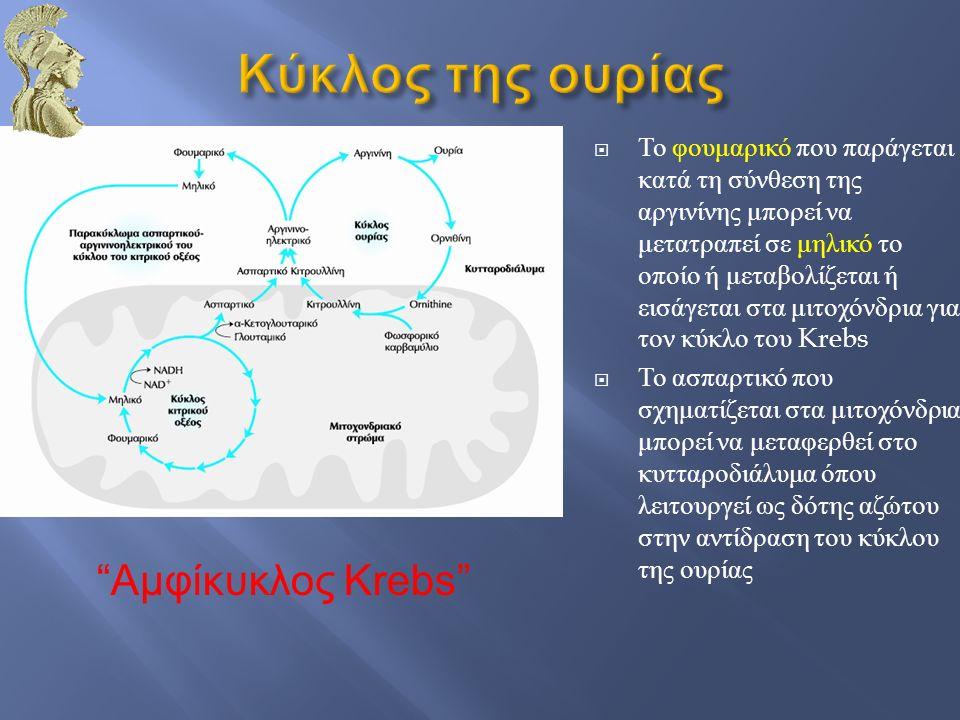 Κύκλος της ουρίας Αμφίκυκλος Krebs