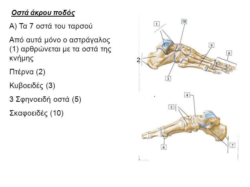 Από αυτά μόνο ο αστράγαλος (1) αρθρώνεται με τα οστά της κνήμης