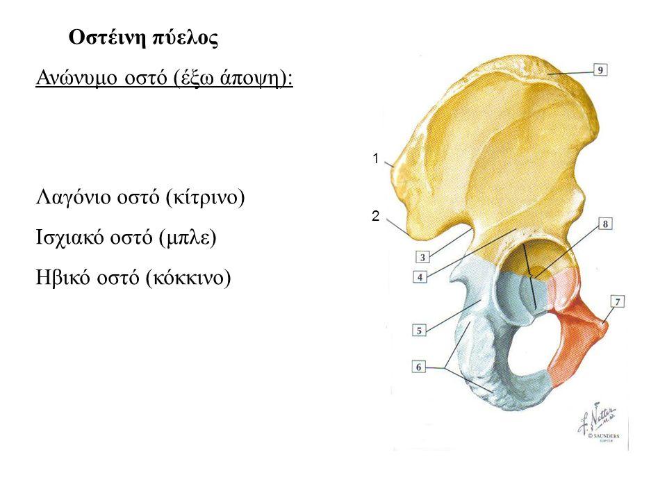Ανώνυμο οστό (έξω άποψη):