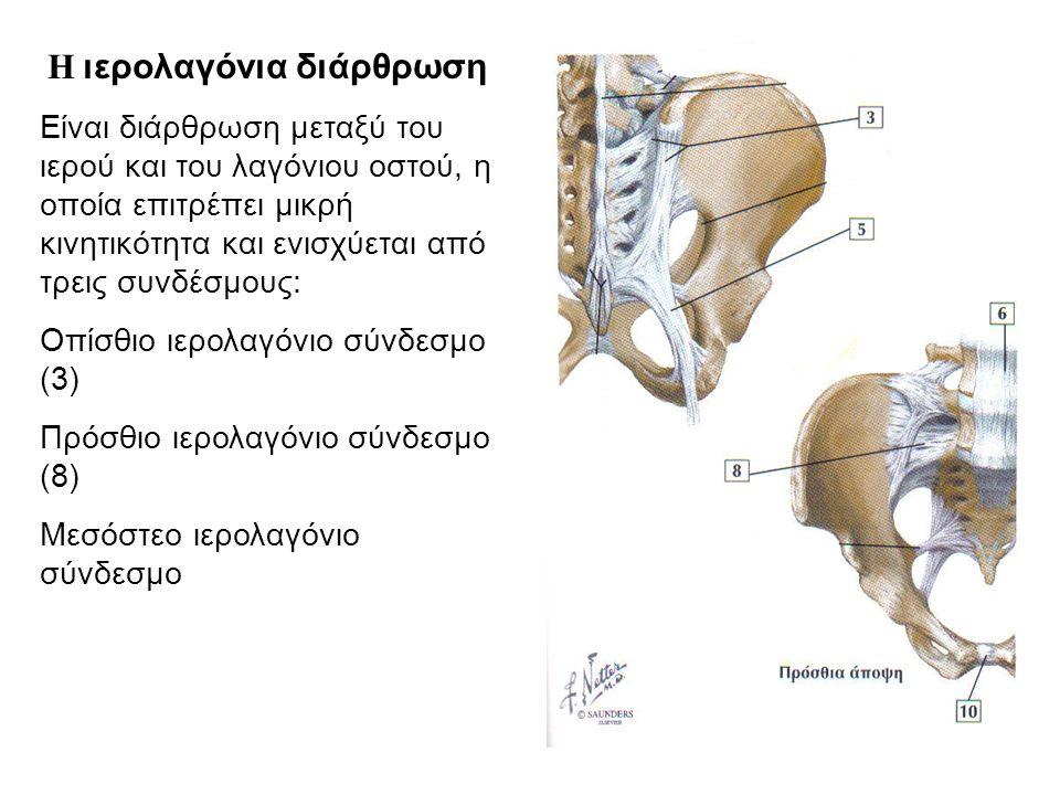 Οπίσθιο ιερολαγόνιο σύνδεσμο (3)