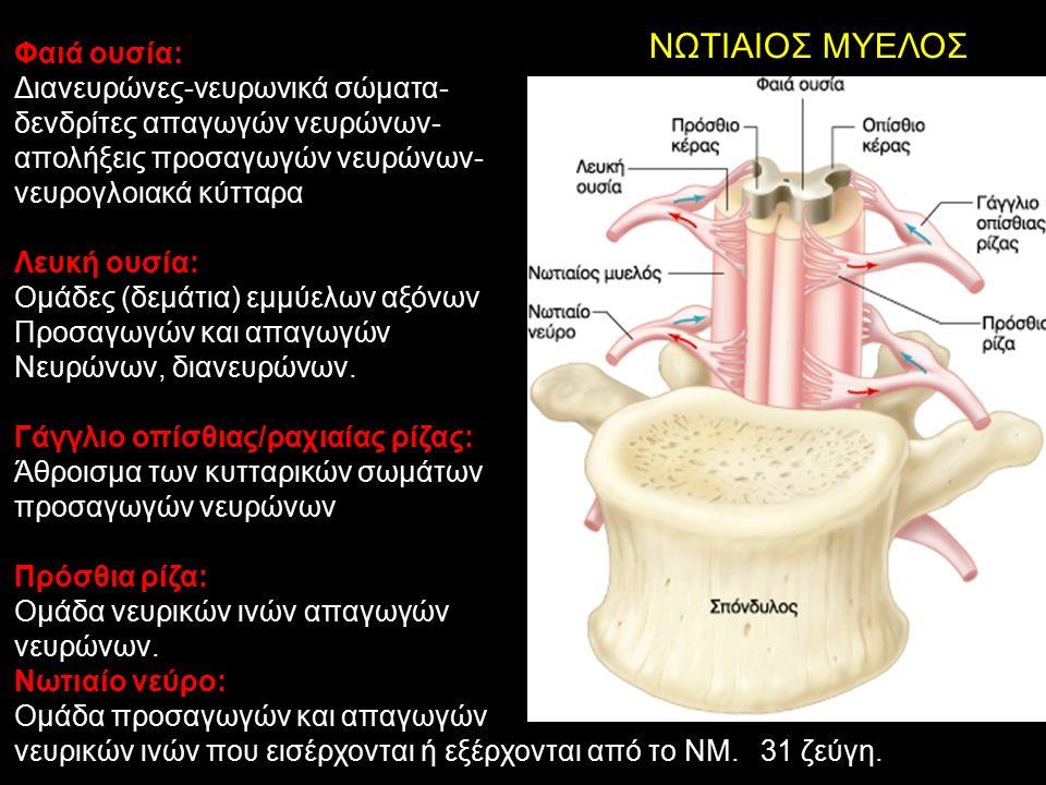 ΝΩΤΙΑΙΟΣ ΜΥΕΛΟΣ Φαιά ουσία: Διανευρώνες-νευρωνικά σώματα-