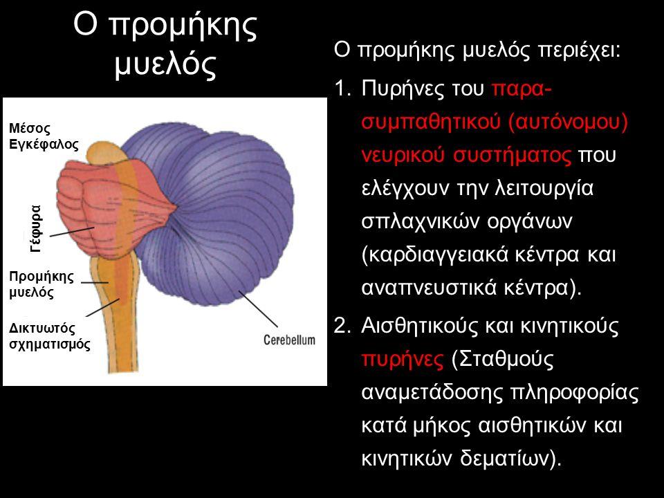Ο προμήκης μυελός Ο προμήκης μυελός περιέχει: