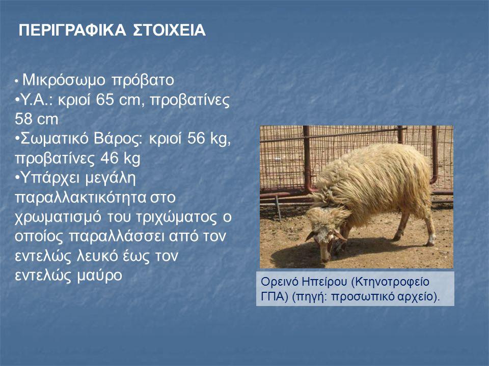 Υ.Α.: κριοί 65 cm, προβατίνες 58 cm