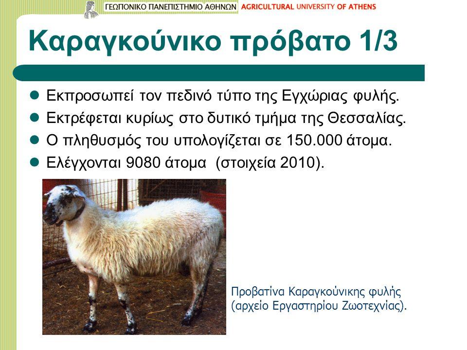 Καραγκούνικο πρόβατο 1/3