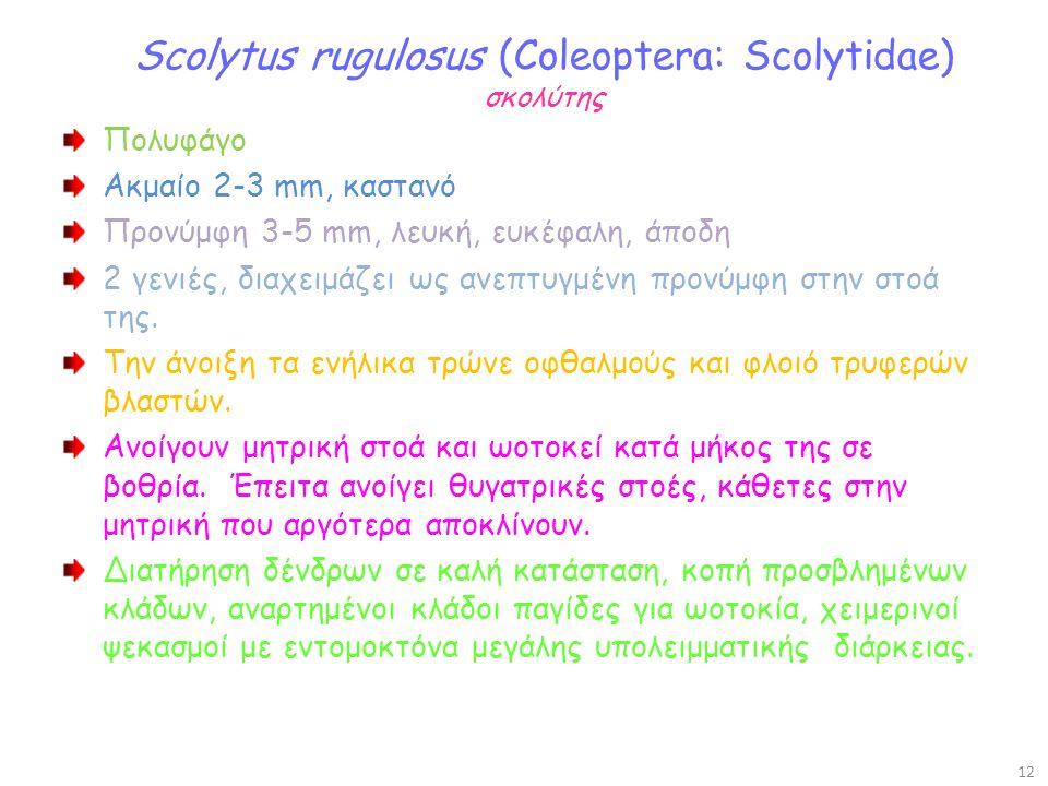 Scolytus rugulosus (Coleoptera: Scolytidae) σκολύτης