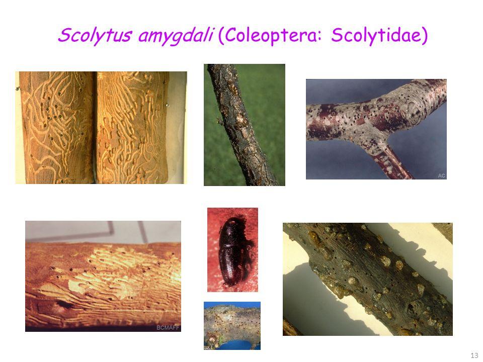 Scolytus amygdali (Coleoptera: Scolytidae)