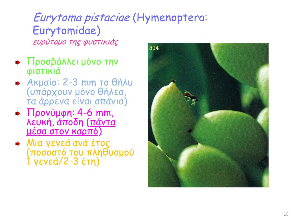 Eurytoma pistaciae (Hymenoptera: Eurytomidae) ευρύτομο της φυστικιάς