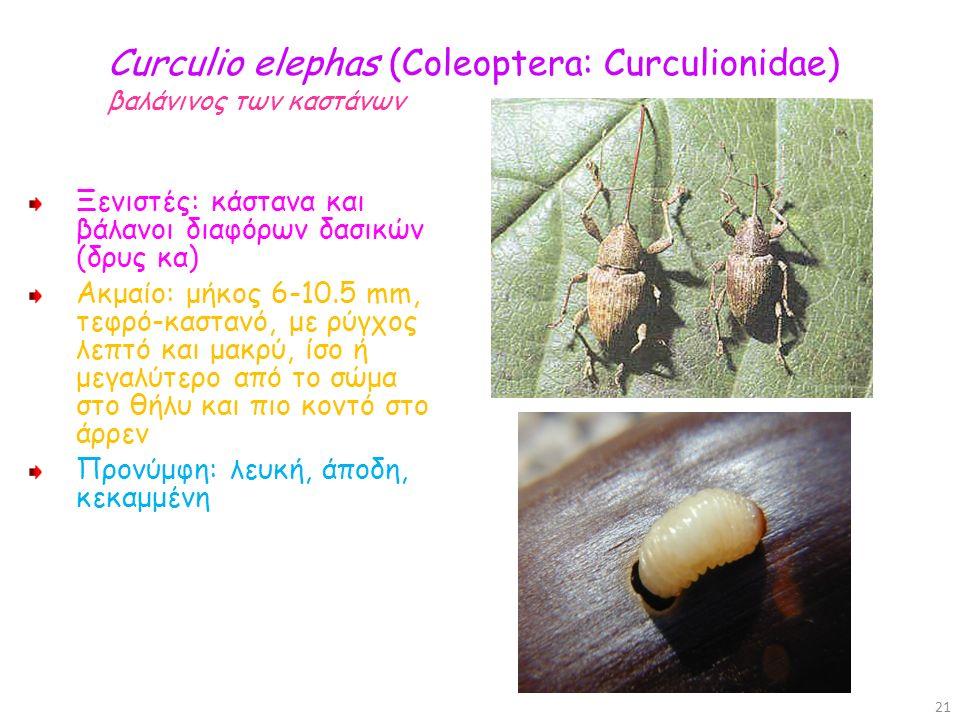 Curculio elephas (Coleoptera: Curculionidae) βαλάνινος των καστάνων