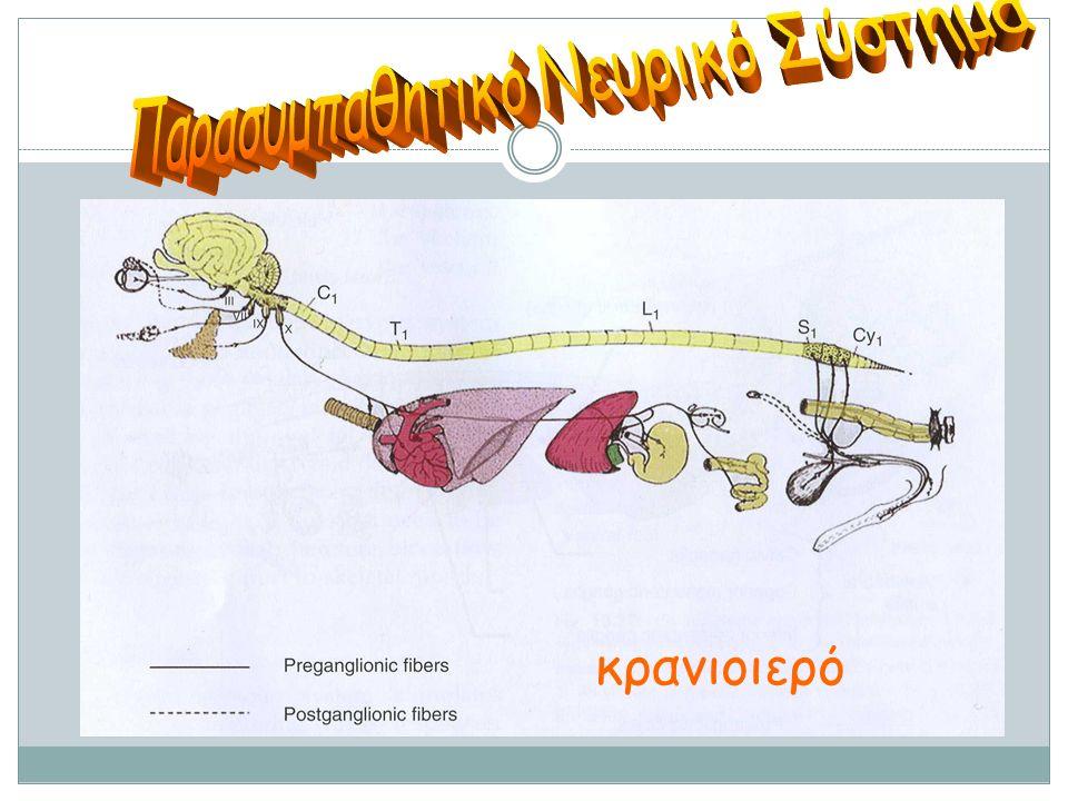 Παρασυμπαθητικό Νευρικό Σύστημα