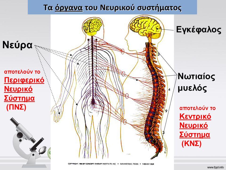 Τα όργανα του Νευρικού συστήματος