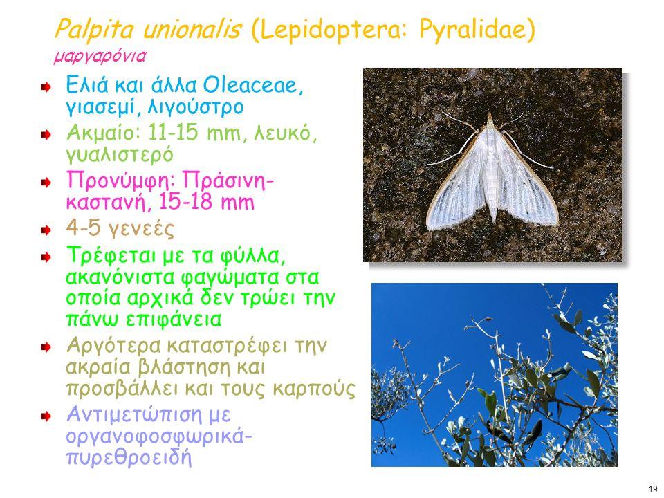 Palpita unionalis (Lepidoptera: Pyralidae) μαργαρόνια