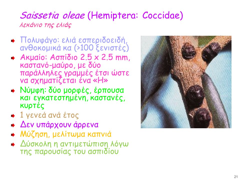 Saissetia oleae (Hemiptera: Coccidae) λεκάνιο της ελιάς