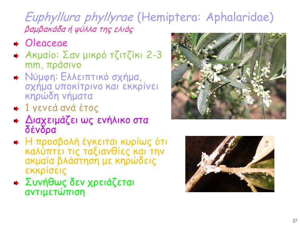 Euphyllura phyllyrae (Hemiptera: Aphalaridae) βαμβακάδα ή ψύλλα της ελιάς