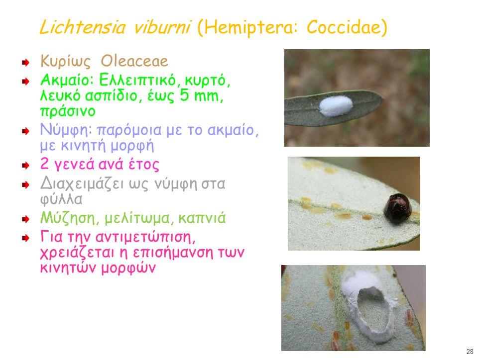 Lichtensia viburni (Hemiptera: Coccidae)