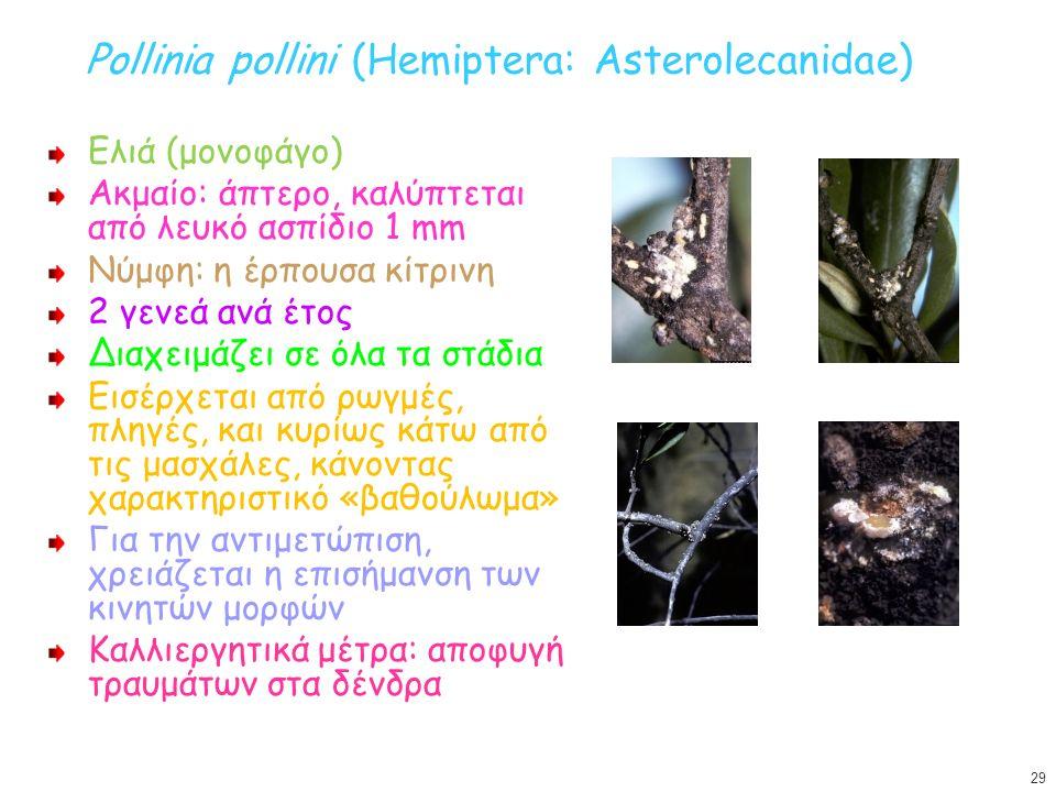 Pollinia pollini (Hemiptera: Asterolecanidae)