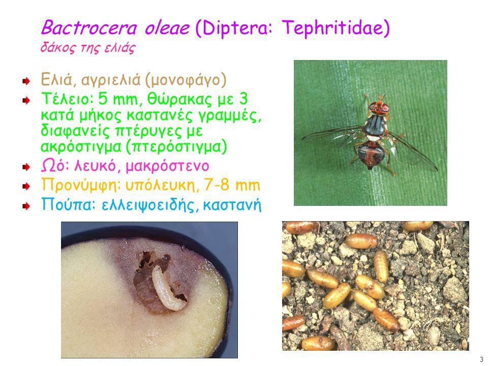 Bactrocera oleae (Diptera: Tephritidae) δάκος της ελιάς