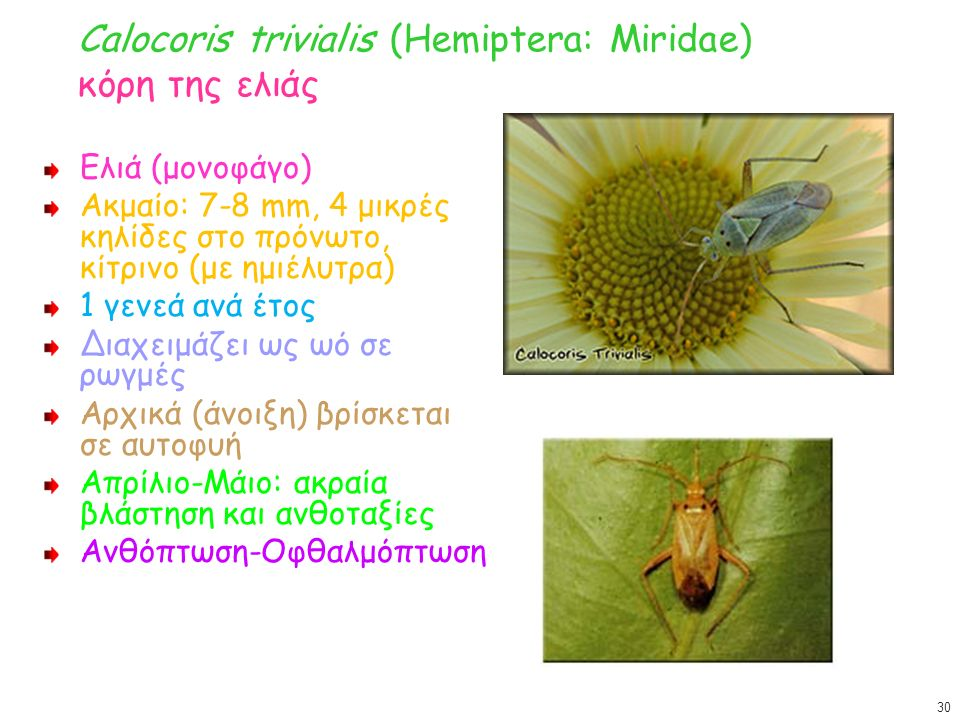 Calocoris trivialis (Hemiptera: Miridae) κόρη της ελιάς