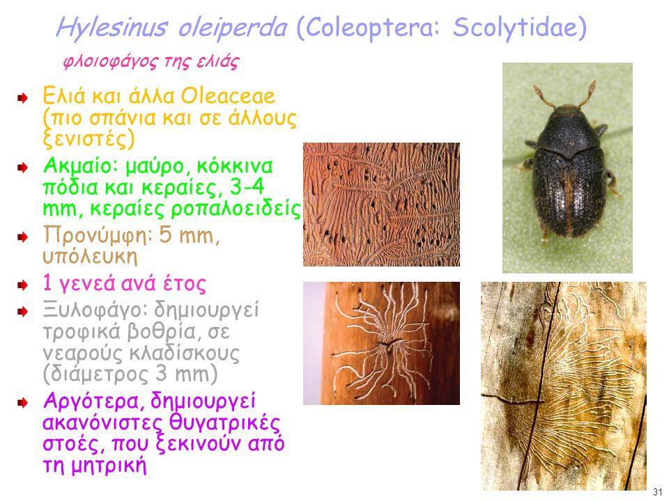 Hylesinus oleiperda (Coleoptera: Scolytidae) φλοιοφάγος της ελιάς