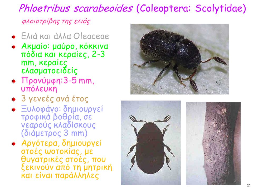 Phloetribus scarabeoides (Coleoptera: Scolytidae) φλοιοτρίβης της ελιάς