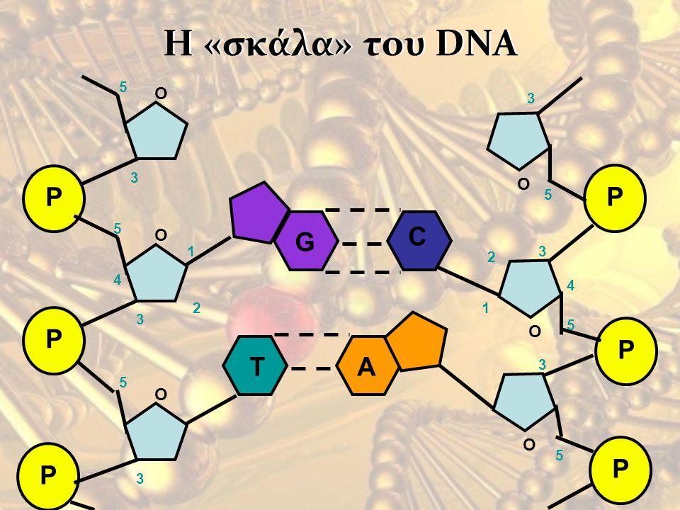 Η «σκάλα» του DNA P O 1 2 3 4 5 P O 1 2 3 4 5 G C T A