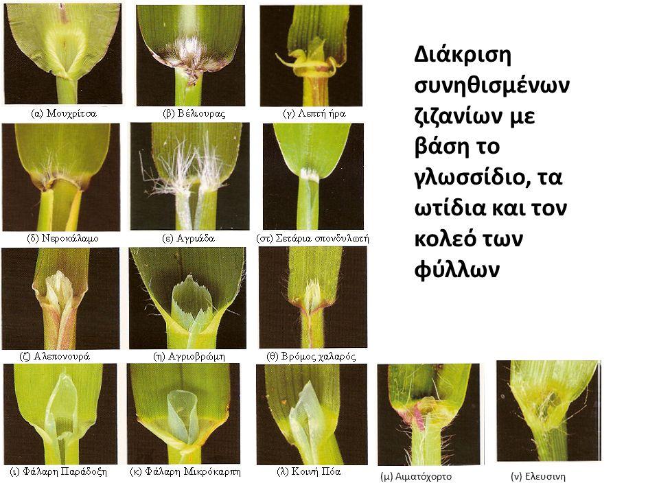 Διάκριση συνηθισμένων ζιζανίων με βάση το γλωσσίδιο, τα ωτίδια και τον κολεό των φύλλων