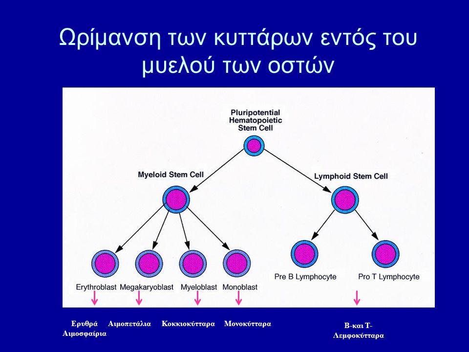 Ωρίμανση των κυττάρων εντός του μυελού των οστών