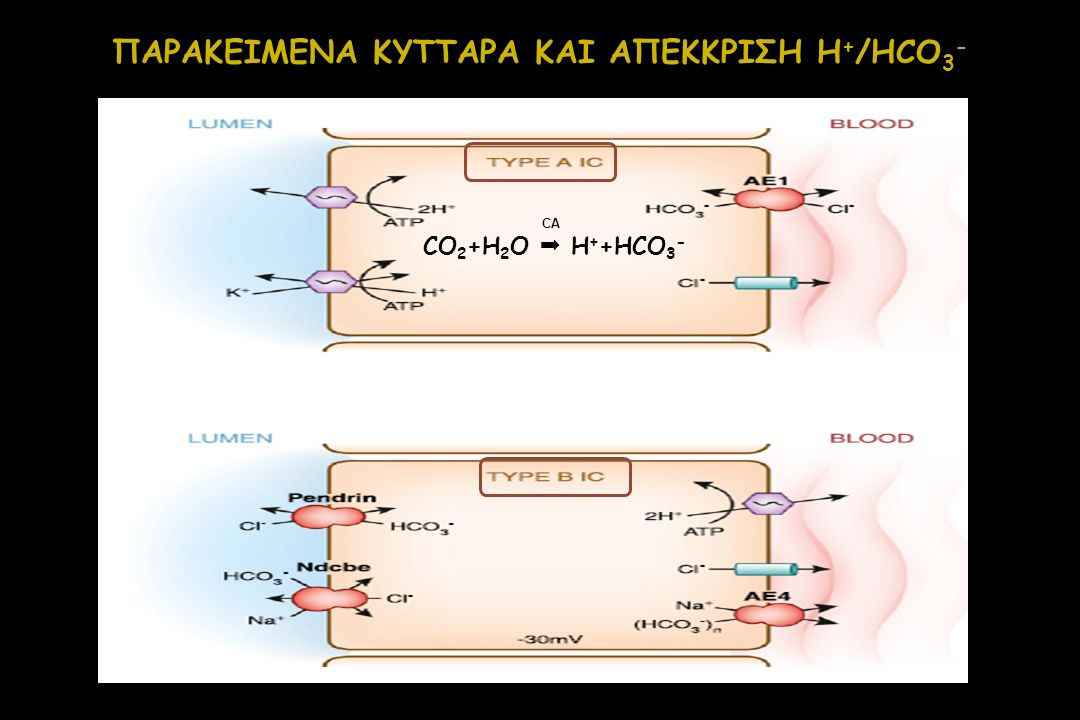 ΠΑΡΑΚΕΙΜΕΝΑ ΚΥΤΤΑΡΑ ΚΑΙ ΑΠΕΚΚΡΙΣΗ H+/HCO3-