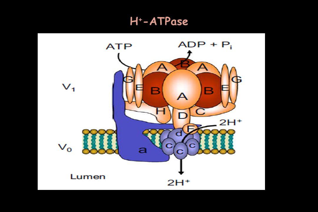 Η+-ATPase