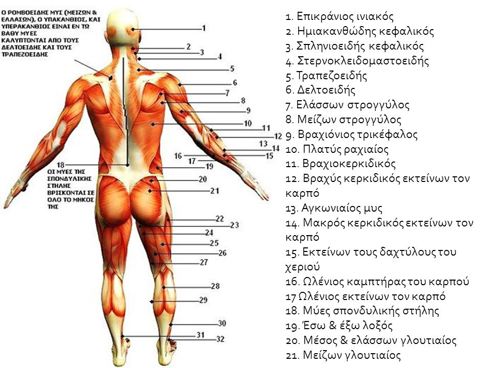 1. Επικράνιος ινιακός 2. Ημιακανθώδης κεφαλικός 3