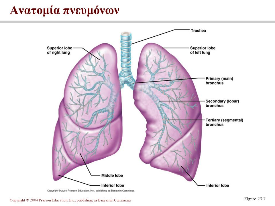 Ανατομία πνευμόνων Figure 23.7