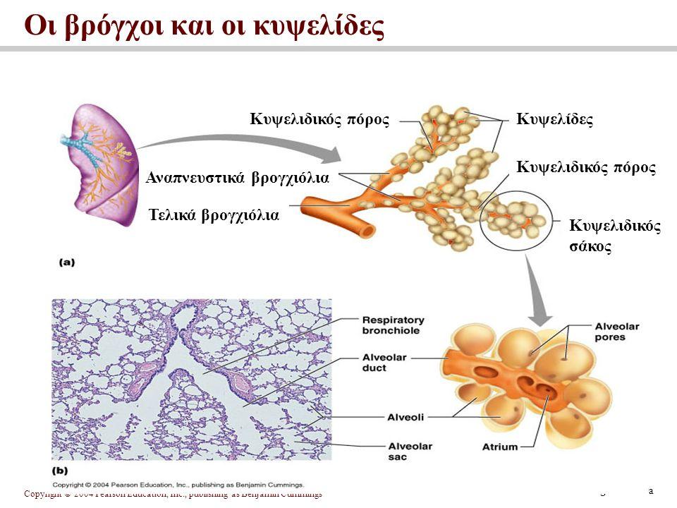 Οι βρόγχοι και οι κυψελίδες