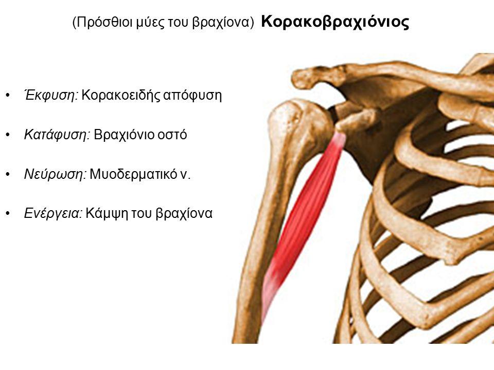 (Πρόσθιοι μύες του βραχίονα) Κορακοβραχιόνιος