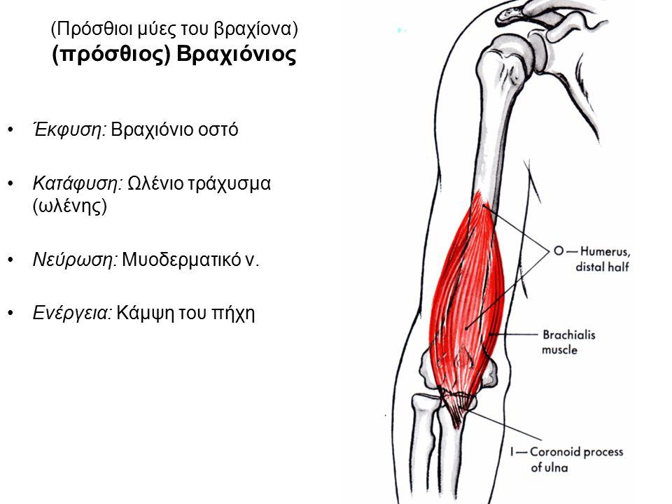 (Πρόσθιοι μύες του βραχίονα) (πρόσθιος) Βραχιόνιος