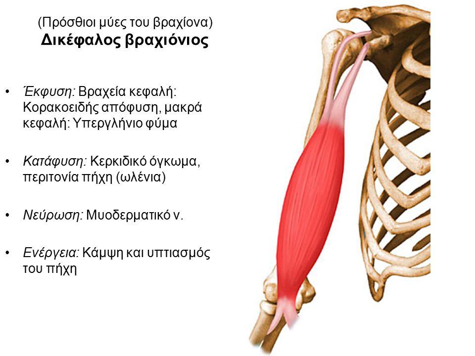 (Πρόσθιοι μύες του βραχίονα) Δικέφαλος βραχιόνιος