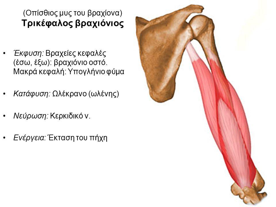 (Οπίσθιος μυς του βραχίονα) Τρικέφαλος βραχιόνιος